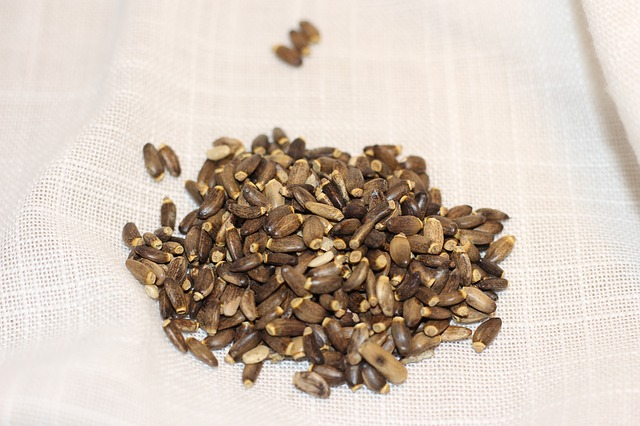 Semena ostropestřce mariánského